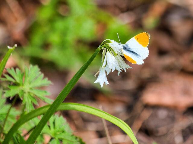 Martin Mere Eco Garden, Orange-tip Butterfly