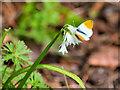 SD4314 : Martin Mere Eco Garden, Orange-tip Butterfly by David Dixon