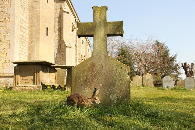 Churchyard hare