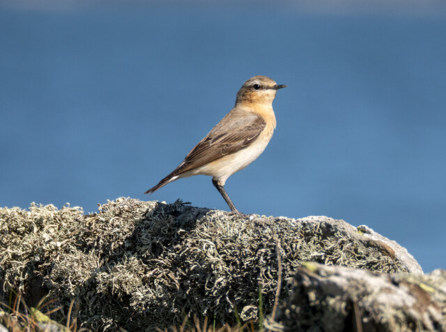 Wheatear, Orlock