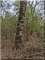 TF0820 : The gnarly trunk by Bob Harvey