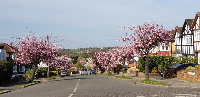 Cherry Blossom in Kenwood Avenue, London N14