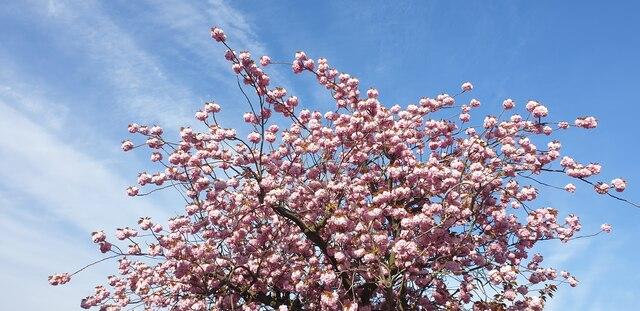Cherry Blossom in London N14