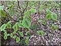 TF0820 : Stained hazel leaves by Bob Harvey
