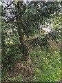 TF0820 : Yew tree by Bob Harvey