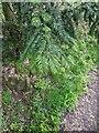 TF0820 : New Yew Fronds by Bob Harvey