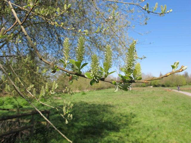 Goat willow at Denham, female catkins