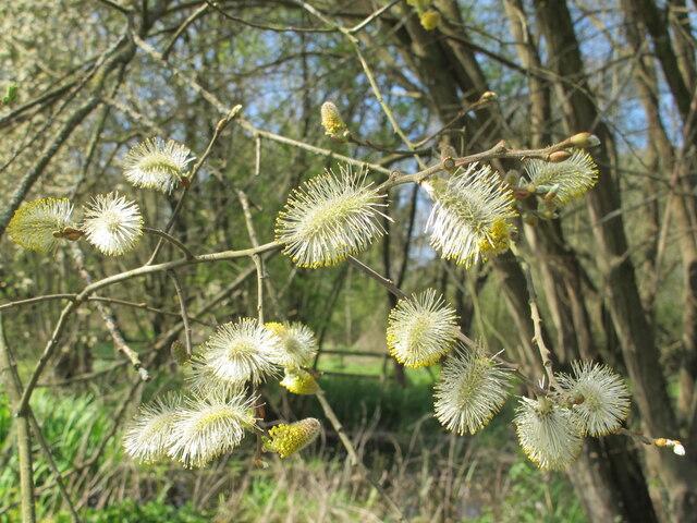 Goat willow at Denham, male catkins