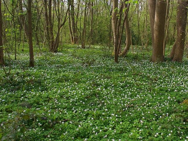 A carpet of wood anemones