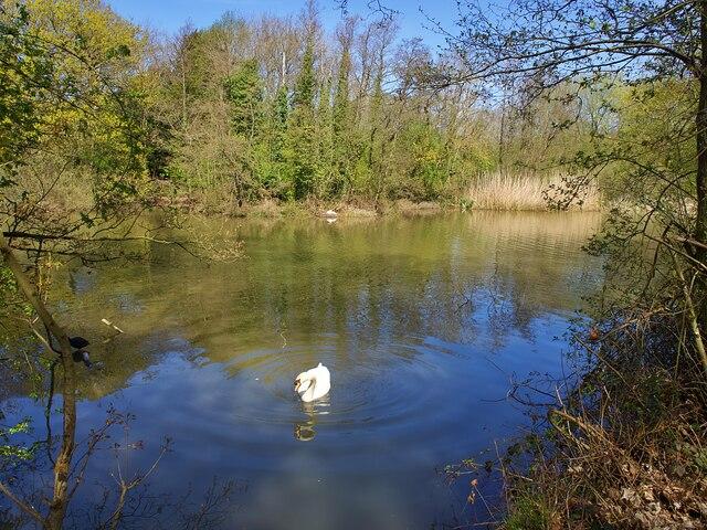 Mute swan on Langold Lake