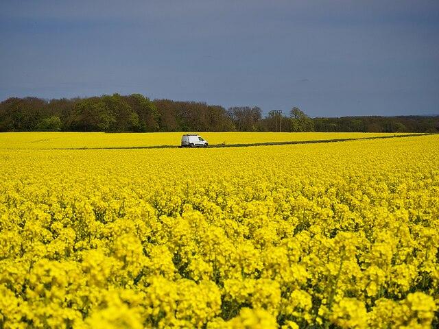 Driving through golden fields