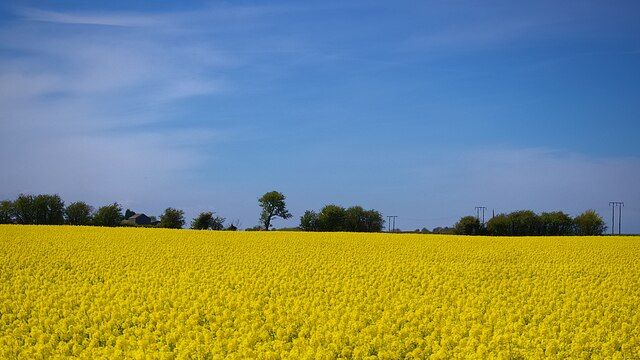 Field of gold and sky of blue