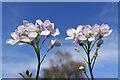 NJ3458 : Lady's Smock (Cardamine pratensis) by Anne Burgess