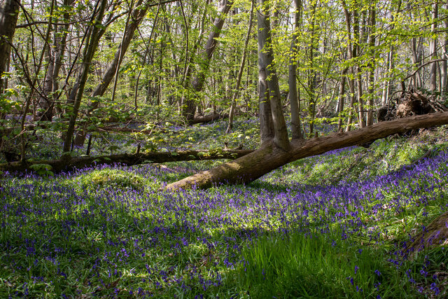 Bluebells in Norsey Wood