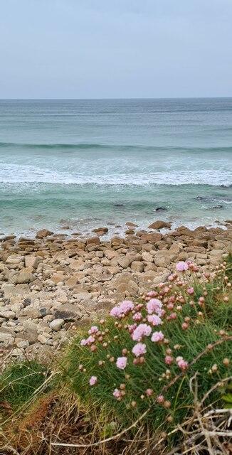 Sea Pinks by the coastal footpath above Sennen beach