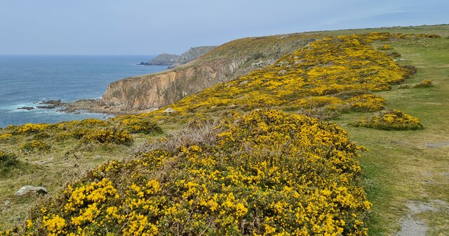 Gorse on the cliff top at Carn Gribba