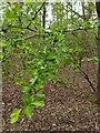 TF0820 : Flower buds on the Hawthorn by Bob Harvey