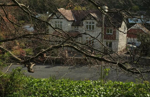 Tree branches, Ilsham Marine Drive
