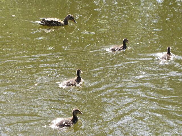 Ducklings, Denham Country Park