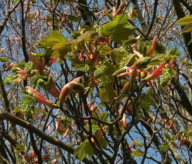 Spring sycamore, Stoodley Meadow