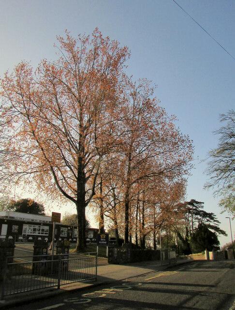 Spring leaves, Barton Road, Torquay