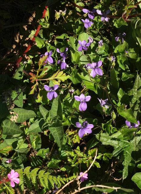 Violets above Newfoundland Cove