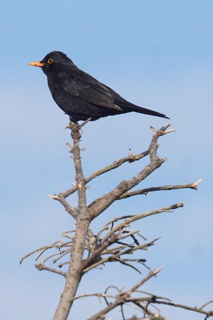 Male Blackbird, Baltasound