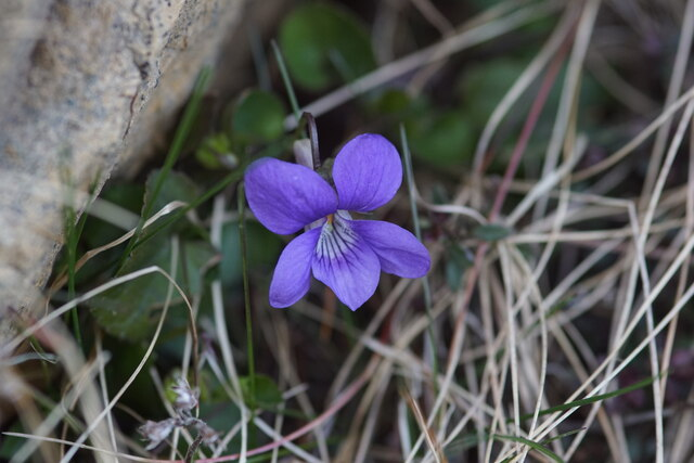 Common Dog-violet (Viola canina), Baltasound