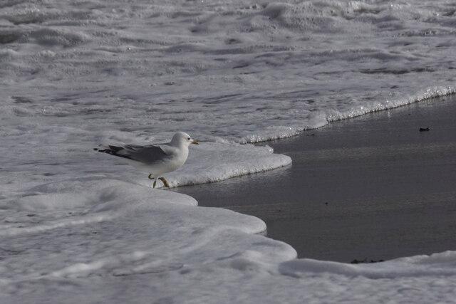 Common Gull (Larus canus), Norwick