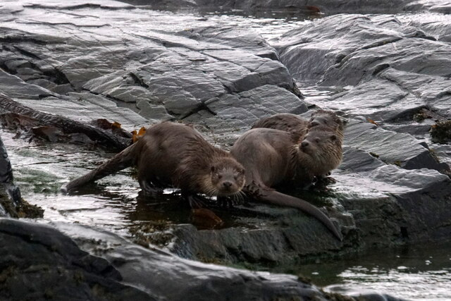 Otters (Lutra lutra), Westing