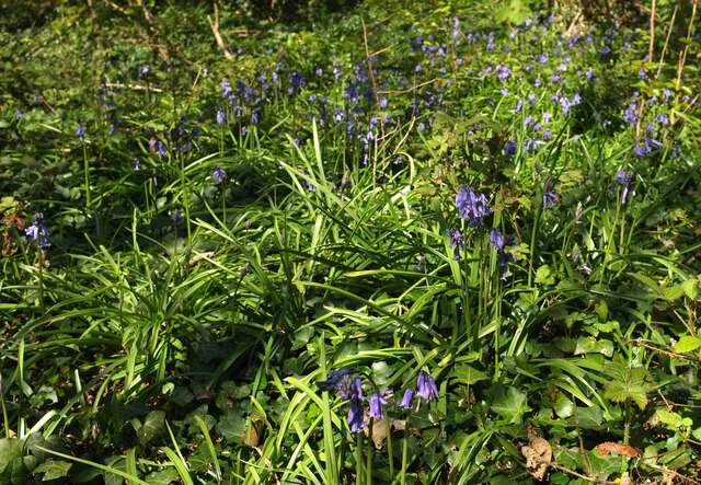 Bluebells by the coast path