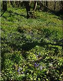 SX8950 : Bluebells by the coast path by Derek Harper