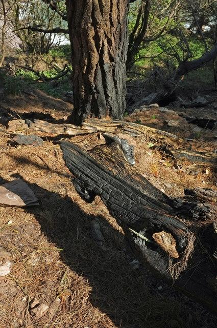 Burnt wood in The Warren