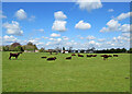 TL4355 : Red polls on Grantchester Meadows by John Sutton