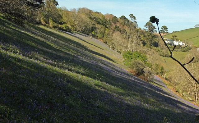 Bluebells above Mill Bay Cove