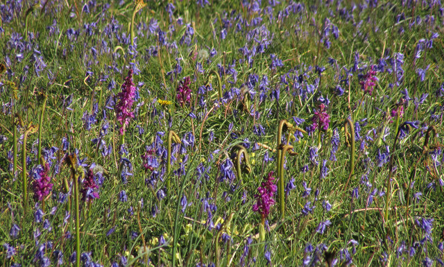 Orchids among the bluebells by Castle Road