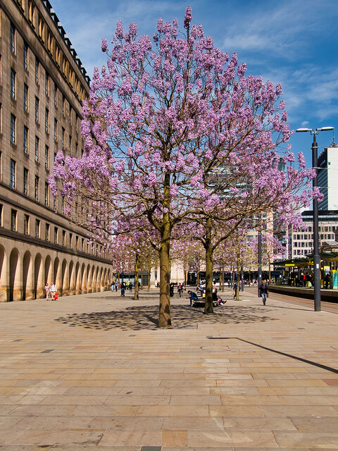 Princess Trees in St Peter's Square