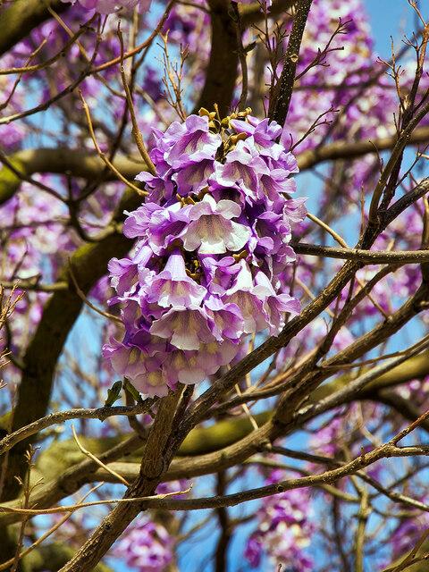 Pawlonia Tree Blossom