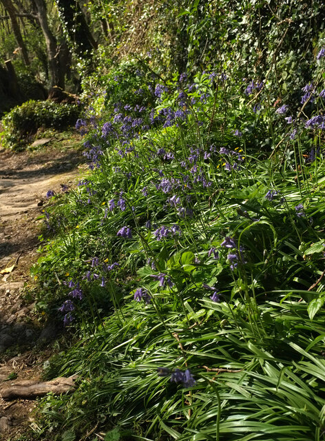 Bluebells by the path to Home Farm