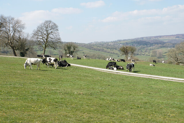 Cattle near Masson Farm