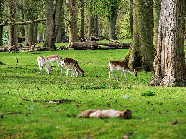 Tatton Park, Deer Grazing at Saddleback Wood