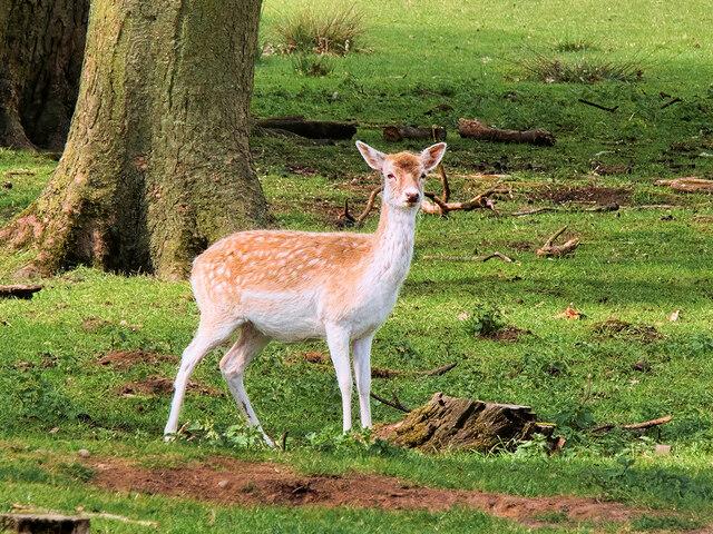 Fallow Deer at Tatton Deer Park
