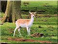 SJ7581 : Fallow Deer at Tatton Deer Park by David Dixon