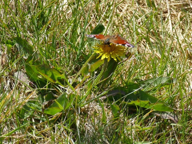 Peacock butterfly, Nab End quarry