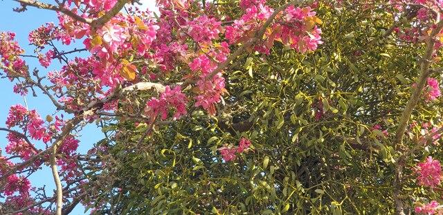 Mistletoe and Blossom, London N14