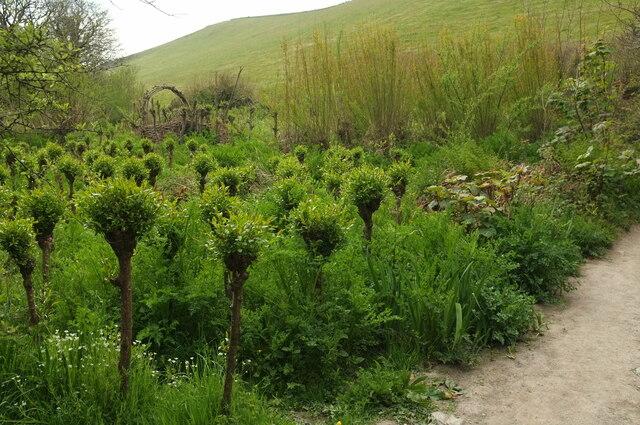 Willow plantation near Butts Brake