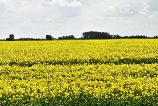 Brandon Bank, Anchor Drove: Oil seed rape crop