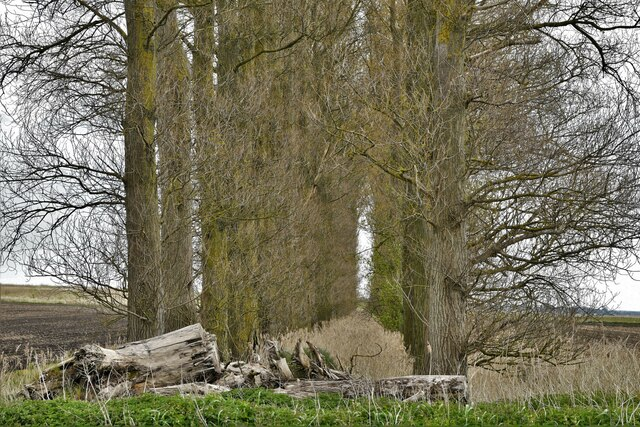 Little Ouse, White House Road: Avenue of trees