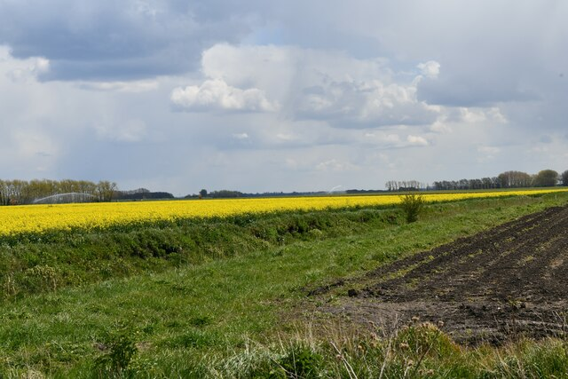 Little Ouse, White House Road: Oil seed rape crop and one beginning to show