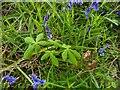 TF0820 : Horse Chestnut sapling by Bob Harvey